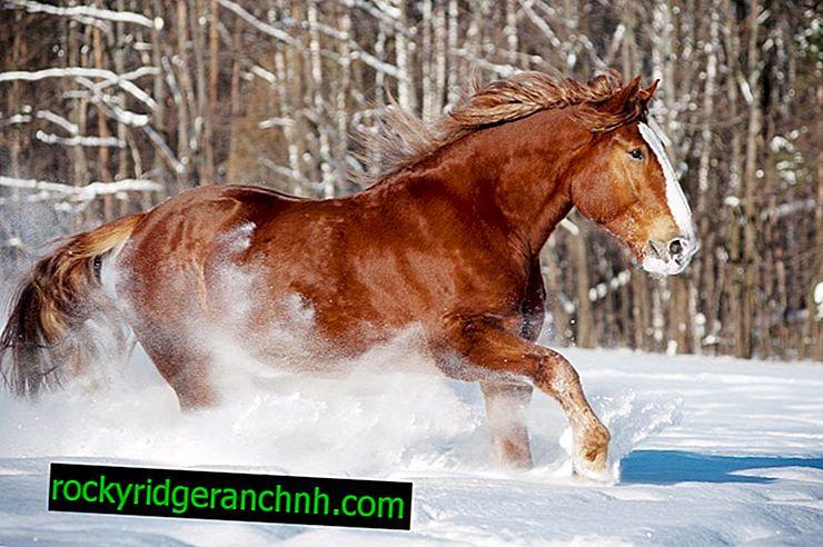 Popis koní plemene Russian Heavy