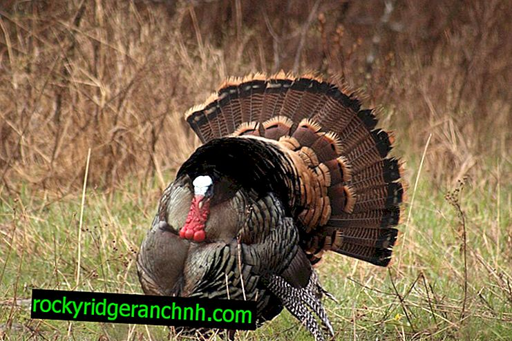 Causes of turkey biting and measures to prevent this problem