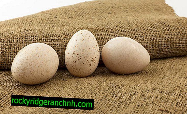 Kenmerken van incubatie van kalkoeneieren