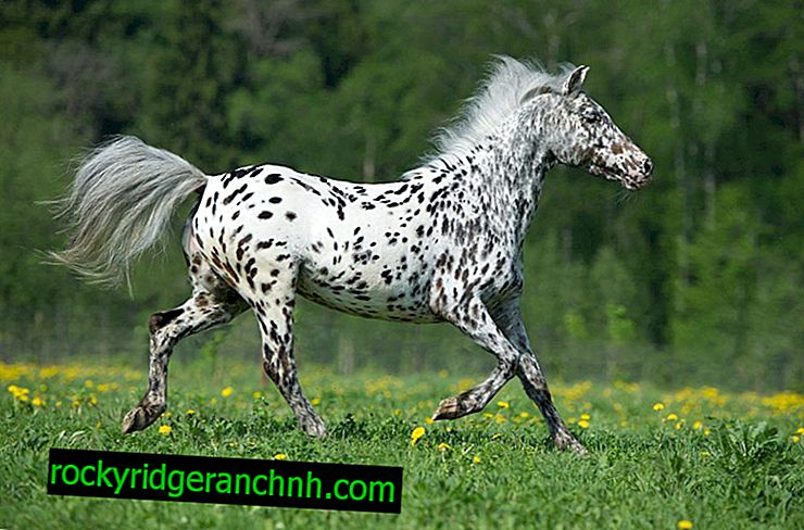 Pony breed Appaloosa