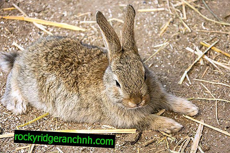 Симптоми и лечение на HBV при зайци