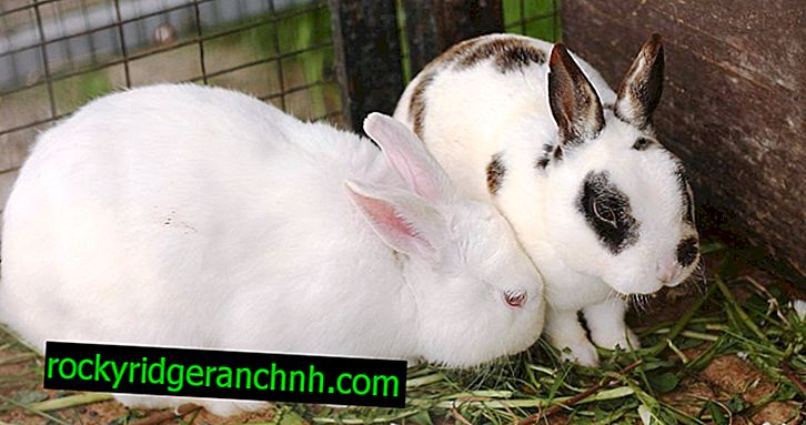 Causes of sneezing in rabbits and treatment methods