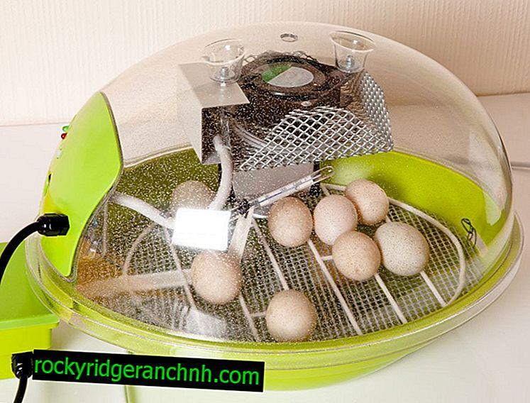 Температурний режим в інкубаторі для курячих яєць