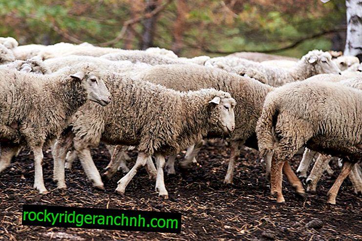 Die wichtigsten Aspekte der Schafzucht