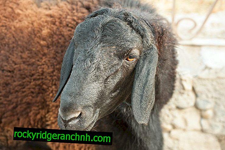 Gissar berani a ovce