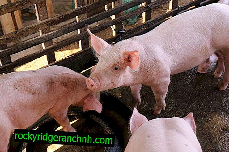 De basis van varkensfokken voor beginners