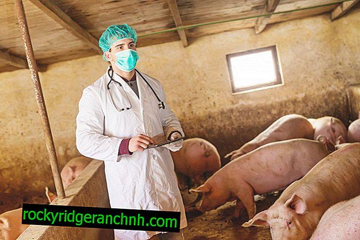 As doenças mais comuns dos porcos