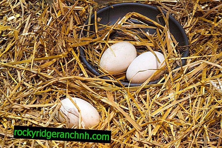 Hindi yumurtalarının ovoskopi işlemi günden güne