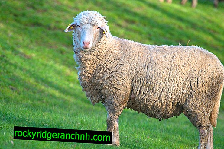 Prekos koyunlarının özellikleri