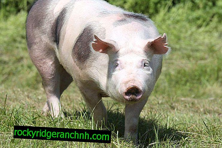 Opis svinja Pietren
