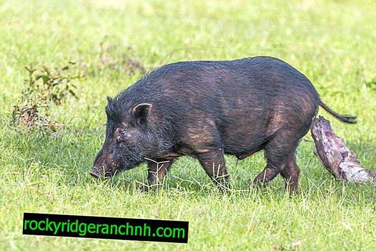 Hvordan behandle svine gastroenteritt