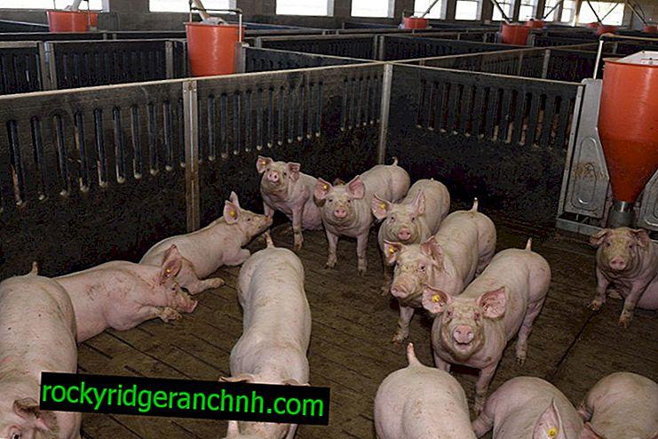 Chambre pour le cochon