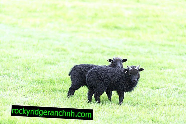 Описание на овце от породата Карачаевская