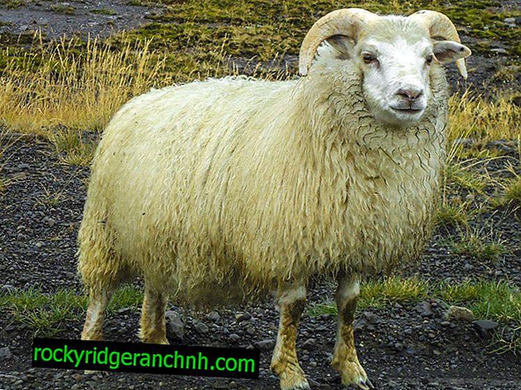 Quanto pesa uma ovelha média, peso líquido de carne