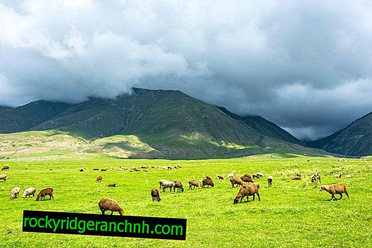 Descripción de la raza de ovejas Edilbayev