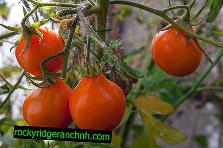 Charakteristická paradajková hľuzovka