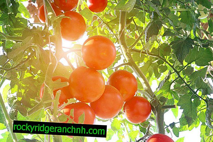 Beskrivelse av tomatsorter Grushovka