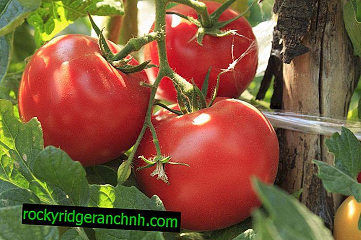 Vlastnosti rajčete Volgogradsky