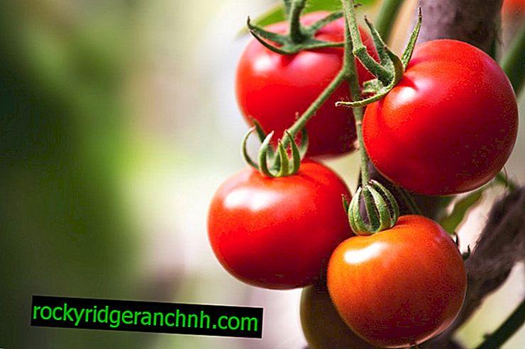 Опис томатів сорту Яблука на снігу