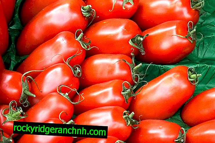 Característica do tomate Espigas de vaca