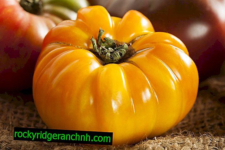 Charakteristischer Tomaten-Orangen-Elefant