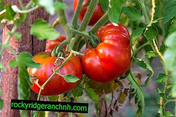 Beschrijving van tomaat Pride of Siberia