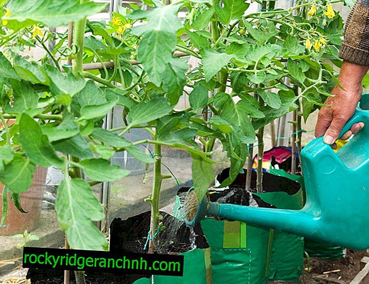 Het gebruik van kaliummonofosfaat voor tomaten
