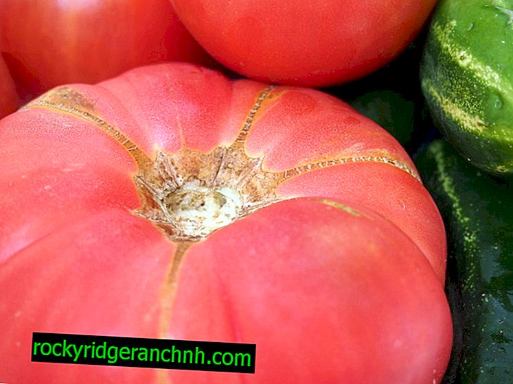 Descripción y características de las variedades de tomate Pink Elephant