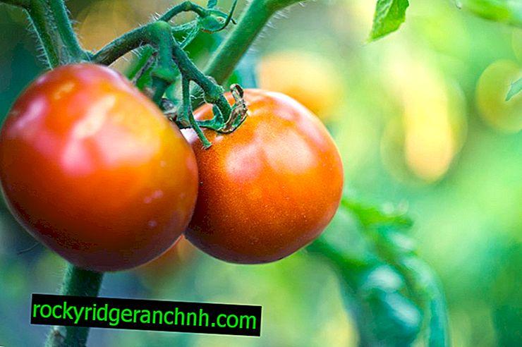 Descrição e características das variedades de tomate Kievlianka