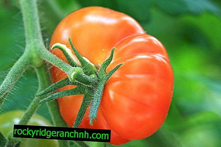 Raznolikost kraljevskog poklona od rajčice