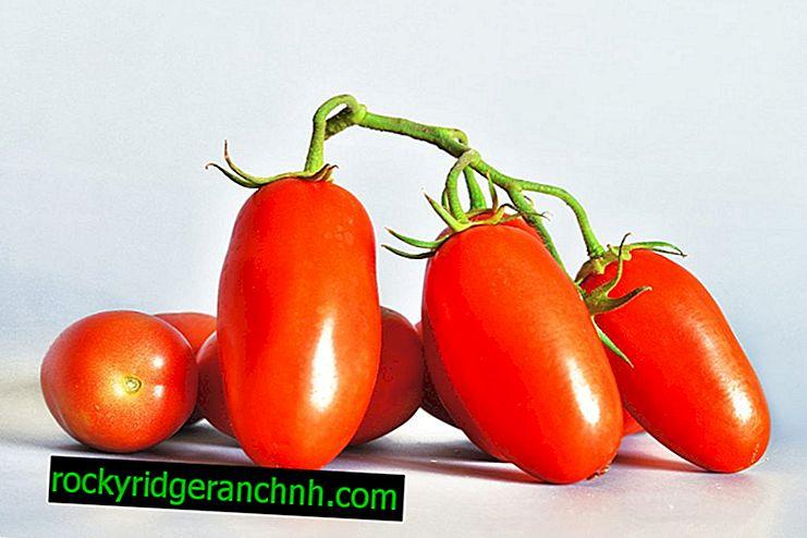 Description and characteristics of tomato varieties Siberian Troika