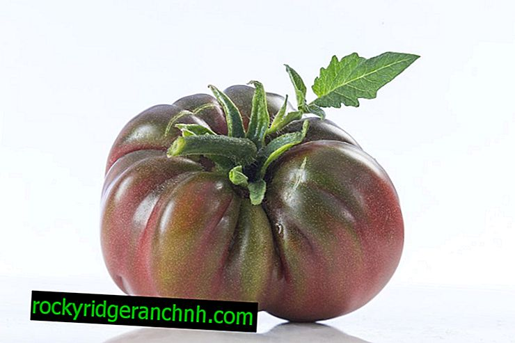 Karakteristisk tomat Svart elefant