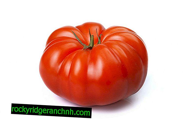 Opis i karakteristike rajčice Kralj rane