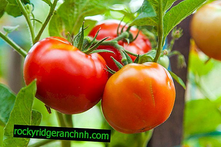 Kjennetegn og beskrivelse av tomatsorter White Bulk