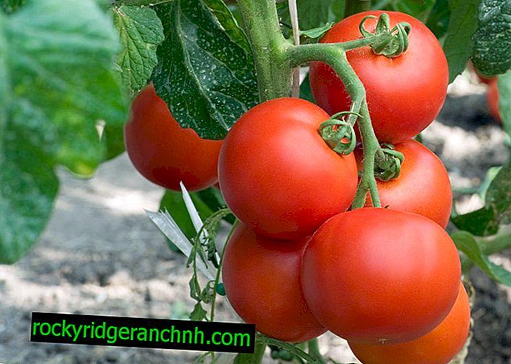 Характеристики на сортовете домати Eupator