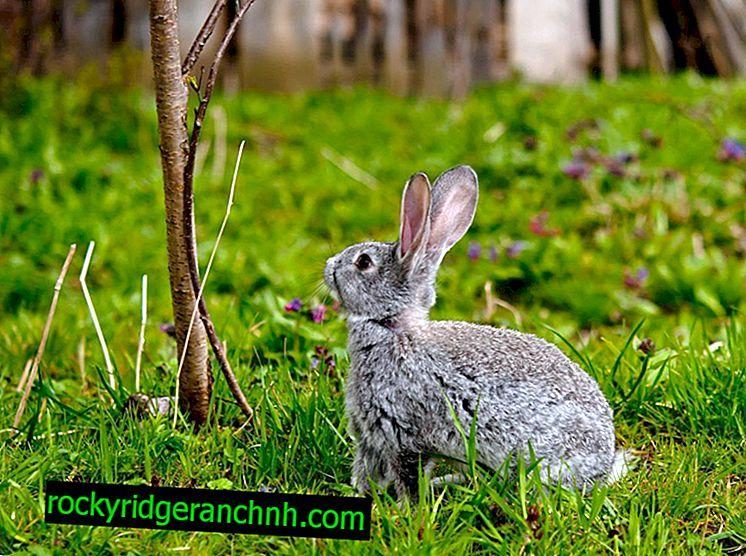 Каква клонова храна може да се дава на зайци