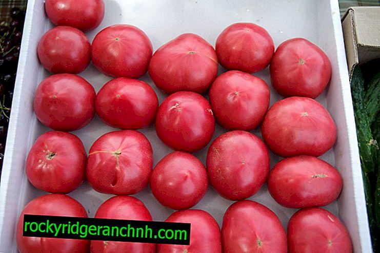 Beskrivning och egenskaper hos tomatsorten Pink Souvenir