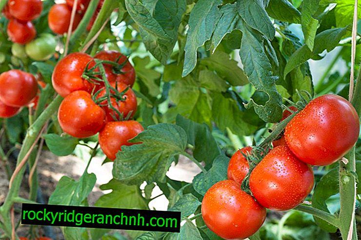 Descripción de la variedad de tomate enano mongol