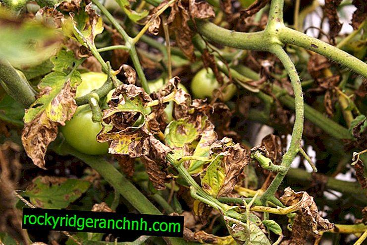 Liječenje rajčice Fusarium Wilt