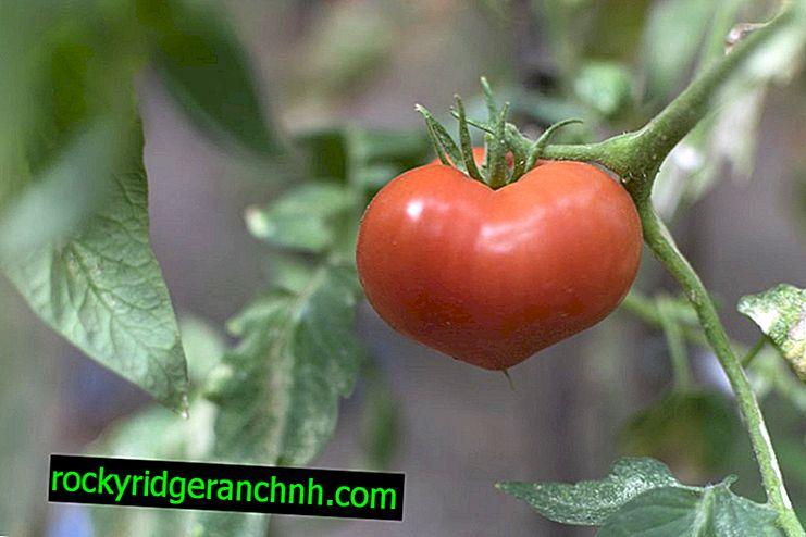 Опис сорту томатів Ювілейний Тарасенко