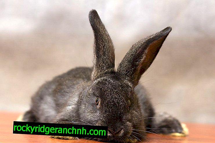 Okroli conejos en casa