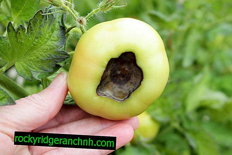 Jak se vypořádat s horní hnilobou rajčat