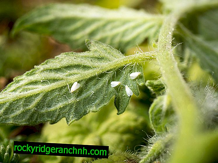 Whitefly control on tomatoes