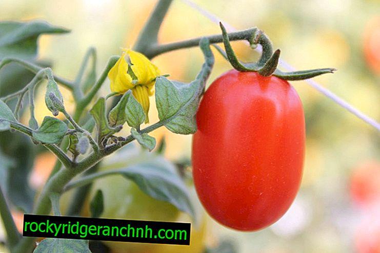 Características de las variedades de tomate Katyusha