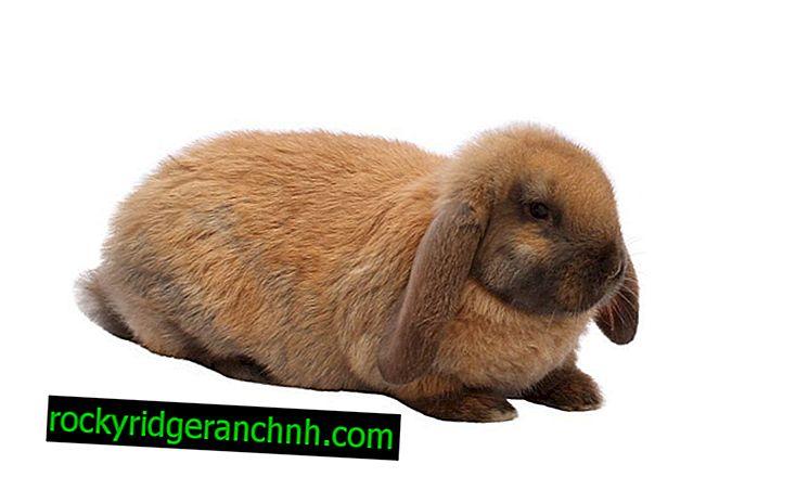 Fransız ram tavşanları