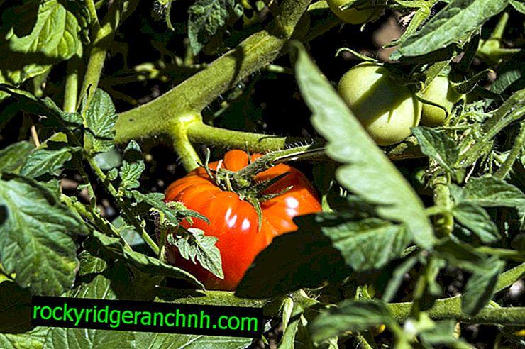 Kenmerken van Japanse tomatenvariëteit