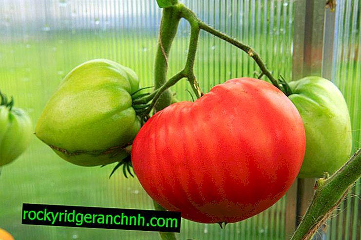 Характеристики на доматите дебели бузи