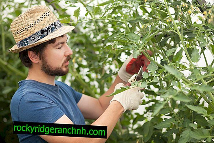Como plantar adequadamente tomates em uma estufa