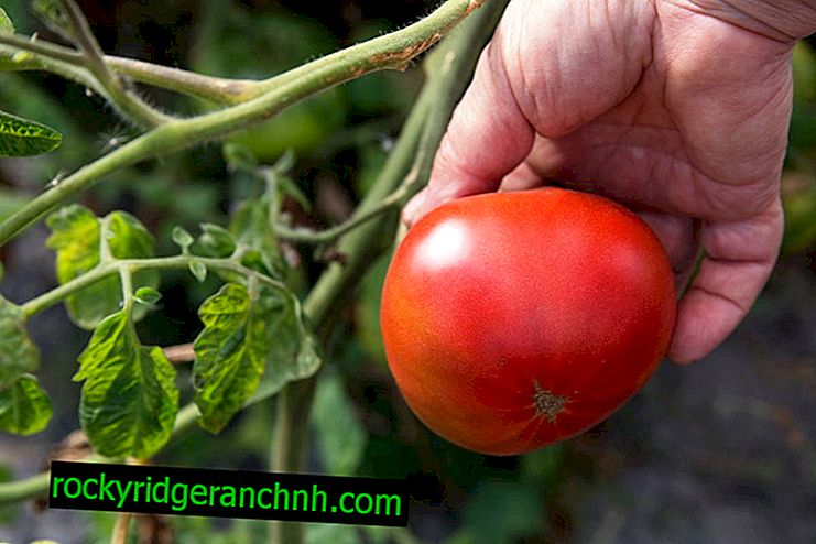 Characteristics of the tomato variety Andreevsky surprise
