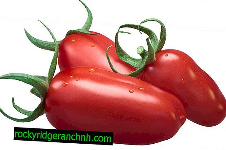 Opis rajčiaka Gigalo